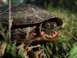 Painted Turtle by DrkSideofLuna