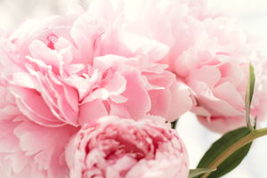 Peonies by JadeBeloved