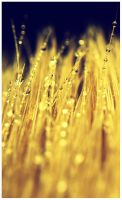 golden drops by tka4u4a