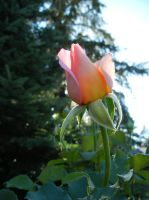 Pretty pink rose by Ranae490