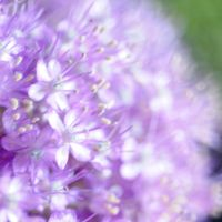 flowering leek 2 by MorkOrk
