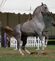 STOCK - TotR Arabians 2013-229 by fillyrox