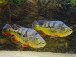 Golden fishes by PaSt1978