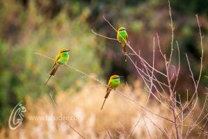 Green Bee Eaters by fahadee