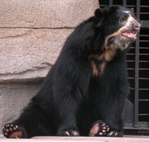 Spectacled bear by Leonca