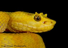 Eyelash viper portrait by AngiWallace
