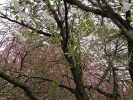 Brooklyn Botanic Garden - Sakura Trees by Blueheart1331