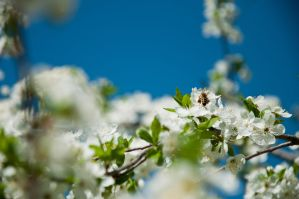 Bee and cherry blossoms by marphey