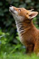 Fox Cub 22 by Alannah-Hawker