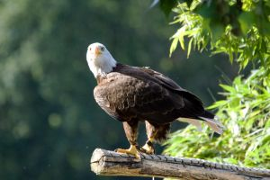 6330 - Bald eagle by Jay-Co