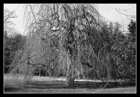 Grandfather Willow Grayscale by FourPartFox