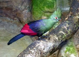 Green Crested Turaco by Bluelizzy