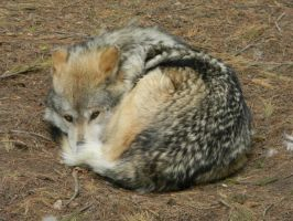Curled Up Wolf by wolfsong97