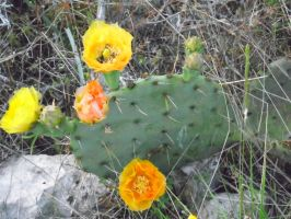 Cactus Flowers 2 by TheGerm84