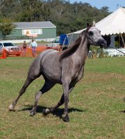 TW Arab grey trotting on a lean front 3/4 view by Chunga-Stock