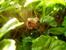 Toad in My Yard, Again by Bnuldun
