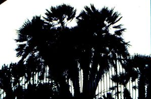 palm trees silouette by looksforthelight