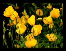 Golden poppies II by hamti