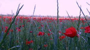 Poppies' Field01 by Gagouthe