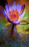 Waterlily in Purple by Tackon