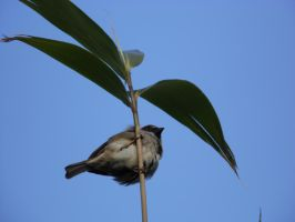 fat little bird (on a bamboo branch) by marshmallowxdinosuar