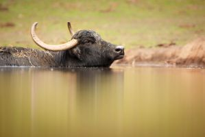 Reflection of a Bull (Bos Primigenius) by AlesGola