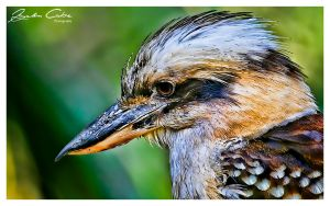 Kookaburra in the old gum tree by jaydoncabe