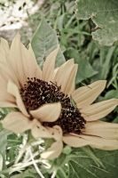 Sunflower by realmofheaven