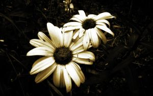 Daisy Decay by l8