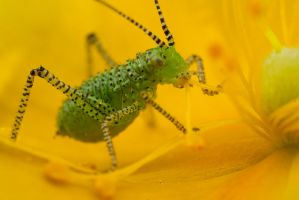 Speckled Bush Cricket Baby by Alliec