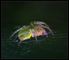 Spider by domifoto
