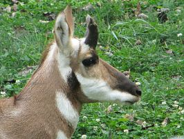 Pronghorn Antelope by NathansMommy1787