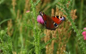 Butterfly and thistle by aktron