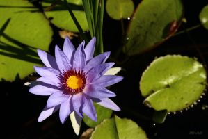 Water Lily Series  4320 by Doumanis