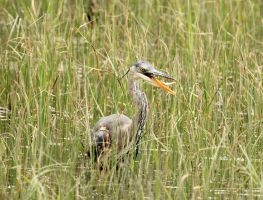 Great Blue Heron Fishing by sgt-slaughter