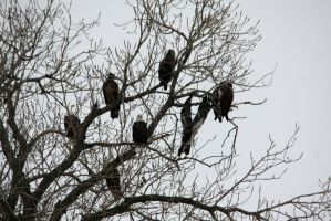 Gathering of Eagles by olearysfunphotos