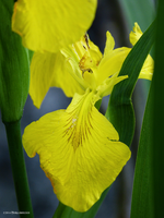 Yellow Iris Gone Wild by Mogrianne