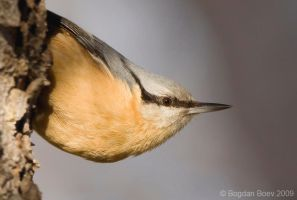 Nuthatch by BogdanBoev