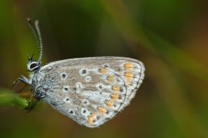 Common blue /4 by andabata