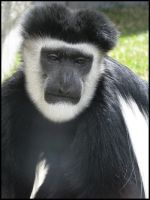 Colobus Monkey by PurlyZig