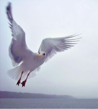 Seagull In Flight by Photos-By-Michelle