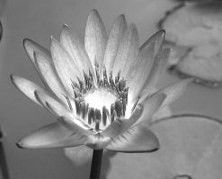 Blue Water Lily BW by texasghost