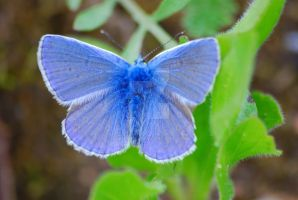 Common Blue from near by gaidele