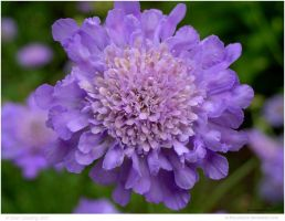 Pincushion Flower by In-the-picture