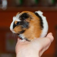 Guinea-pig 1 by CorpyDragon