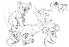 Koala Studies by davidsdoodles