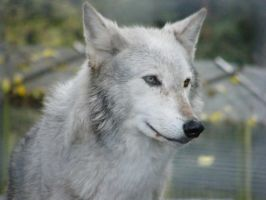 Wolf Portrait Stock 29 by Clickitysnip-Stock