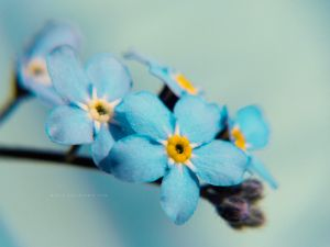 Another forget me not picture by mariv