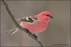 Pine Grosbeak - male by gregster09