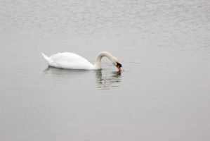 Swan Drinking by saltedm8